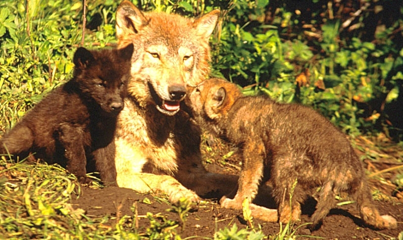 Wolf Country, wolf pups and the pack.
