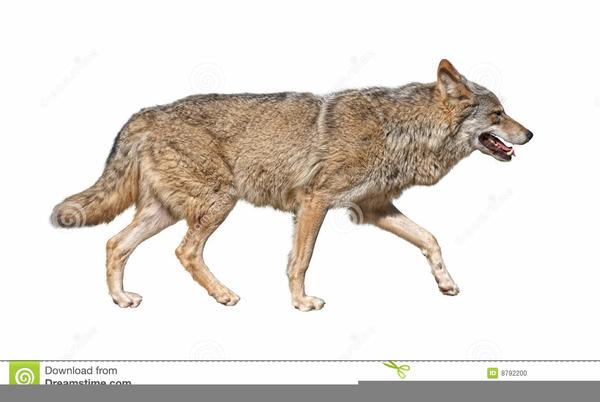 Running Wolf Clipart.