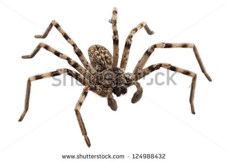 Wolf Spider Lycosa Sp In High Definition With Extreme Focus And.
