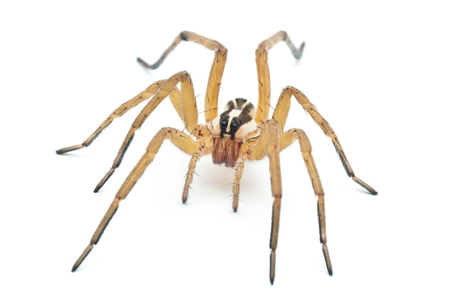 Rabid Wolf Spider by ribbonworm on DeviantArt.