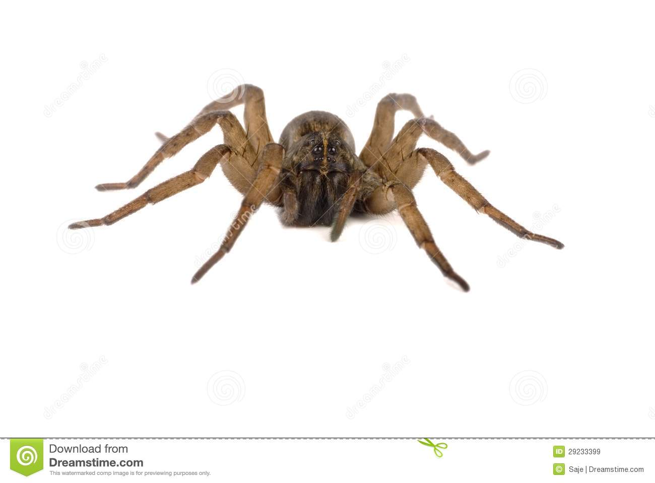 Wolf Spider Dead Royalty Free Stock Images.