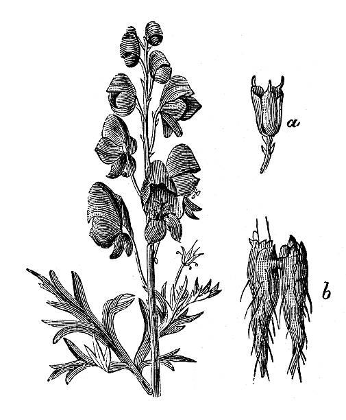 Aconitum Clip Art, Vector Images & Illustrations.