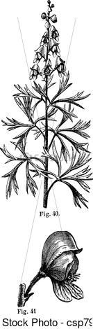 Vector Clipart of Fig. 40. Aconite. Top of the stem, Fig. 41.