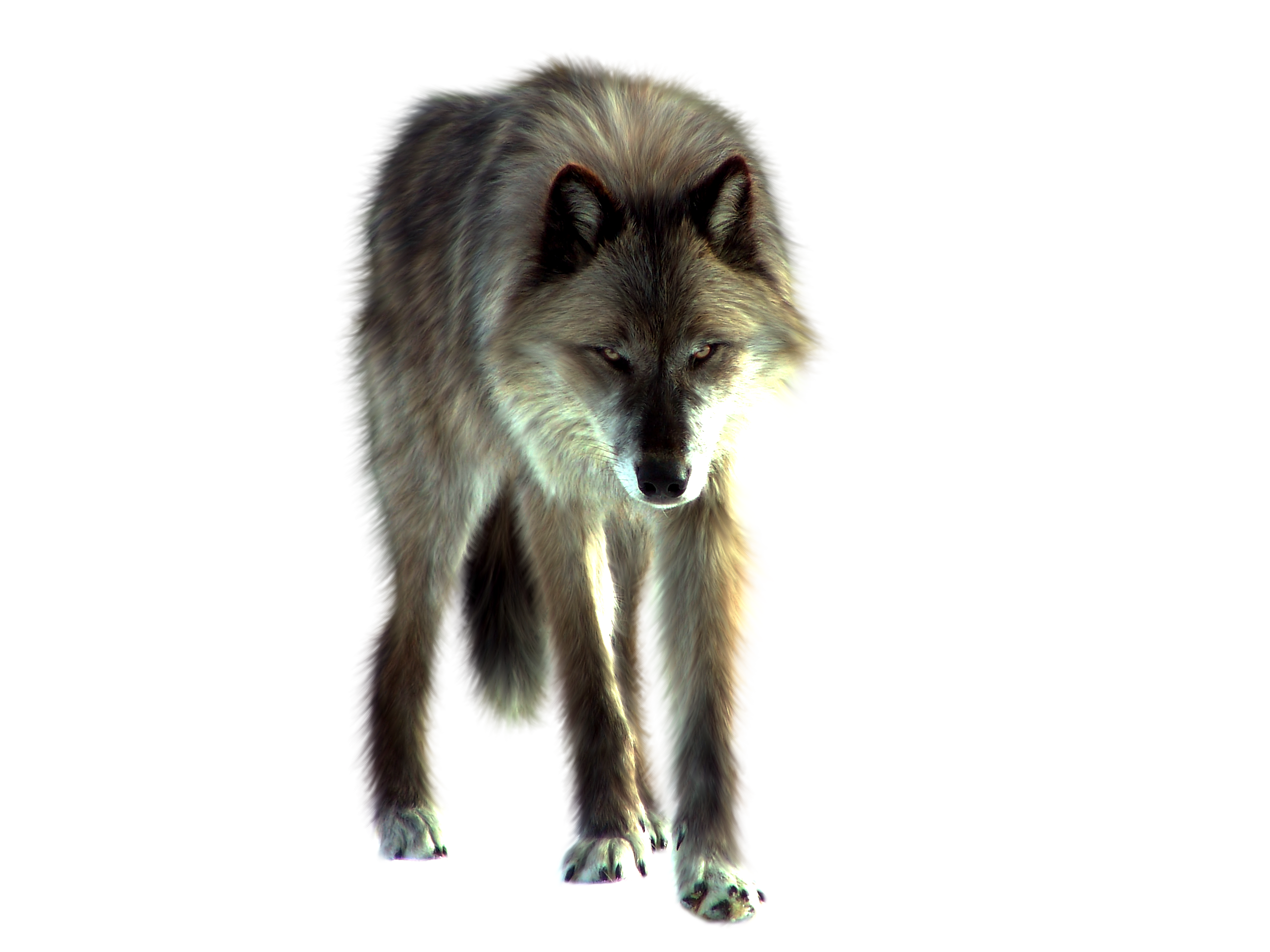 Wolf PNG Transparent Images.