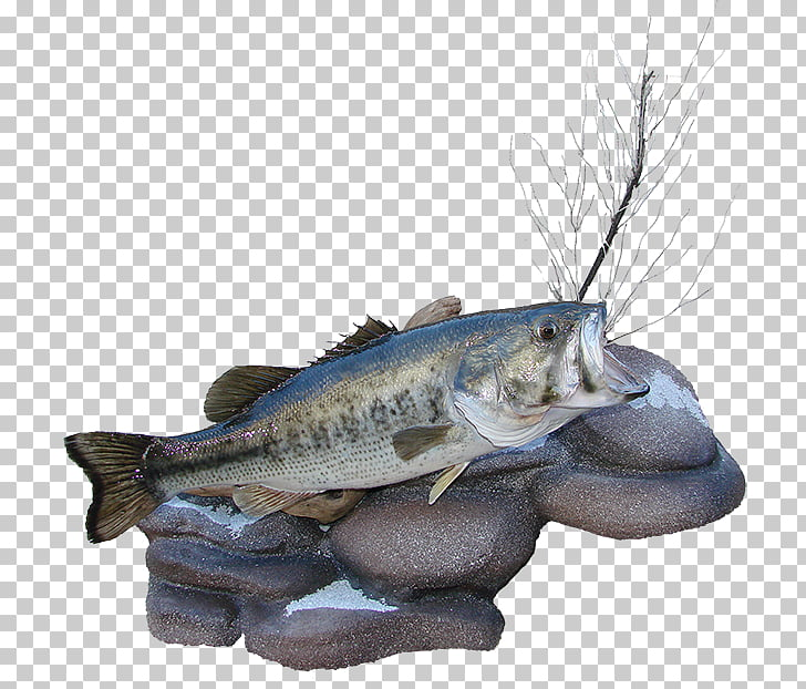 Barramundi Fish Perch Bass guitar, fish PNG clipart.