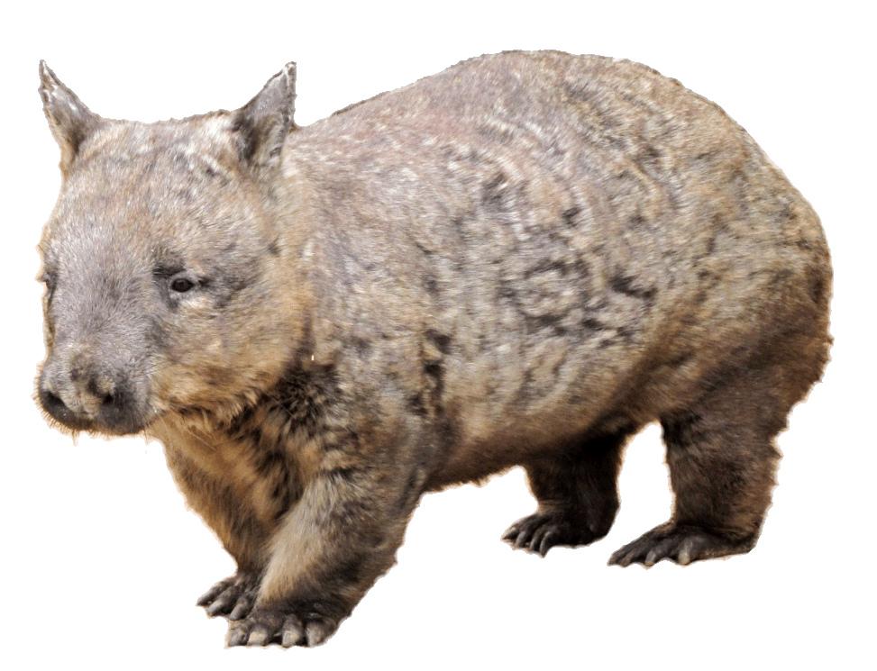 wombat clipart #45.