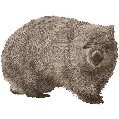 Common Wombat, Coarse.