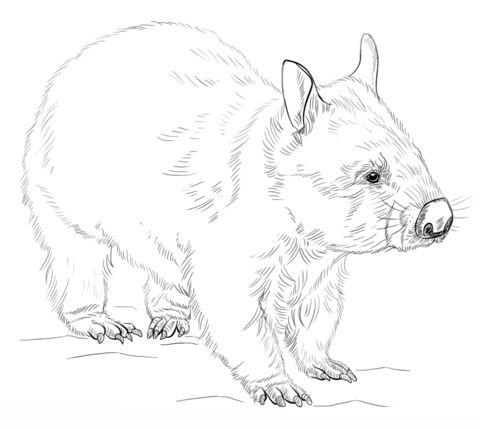 Wombat clipart black and white » Clipart Portal.