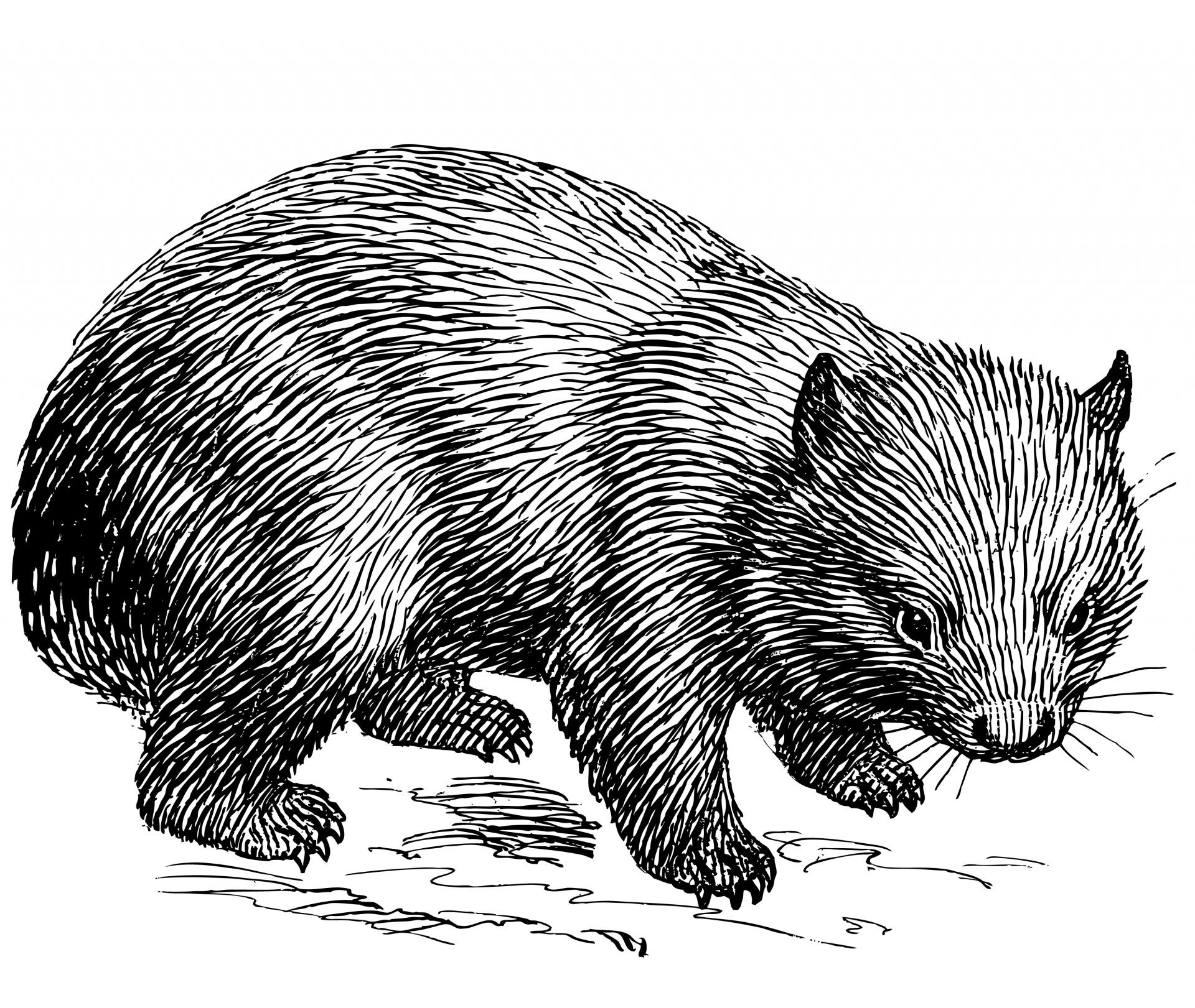 Wombat,animal,line art,clipart,clip art.