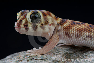 Wonder Gecko Royalty Free Stock Photo.