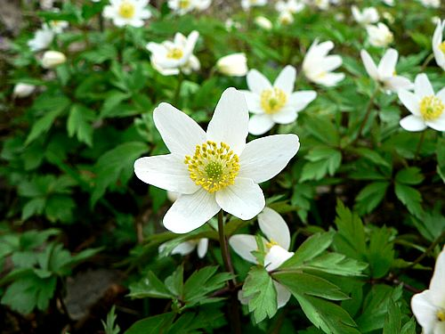 Free Stock Photo of Wood Anemone 3.