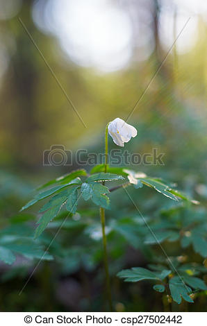Stock Photo of Sunrise over lonely wood anemone flower.
