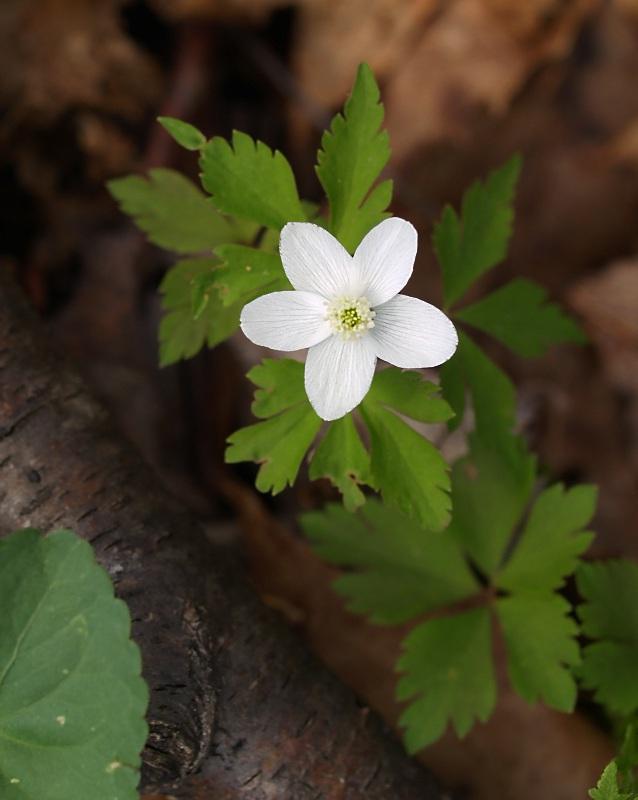Wood Anemone Anemone quinquefolia.