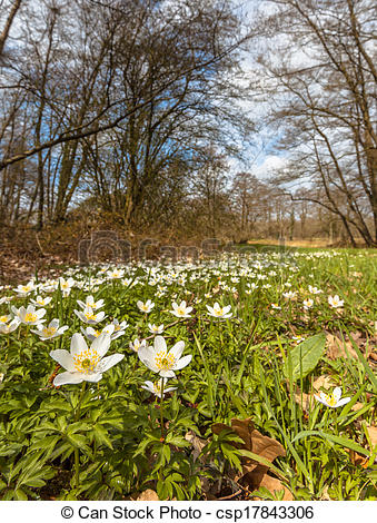 Stock Photography of Wood Anemone in a Grass Field in early Spring.