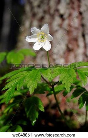 Stock Photography of Wood Anemone (Anemone nemorosa). Kleinarltal.