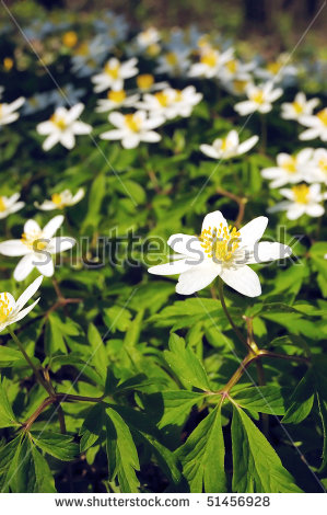 Anemone Nemorosa Stock Photos, Royalty.