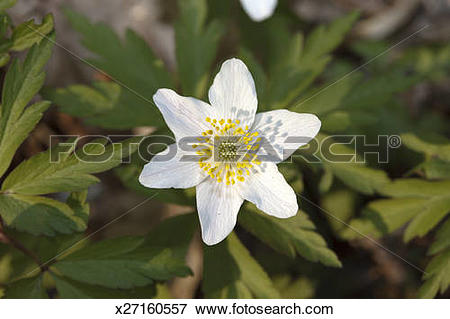 Picture of Wood anemone (Anemone nemorosa ) x27160557.