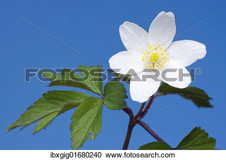 "Stock Photography of ""Wood Anemone, European Thimbleweed, Crowfoot."