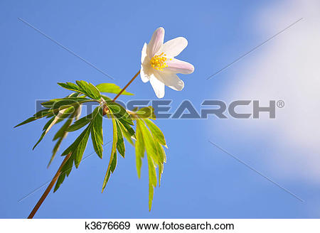 Stock Illustration of Wood anemone k3676669.