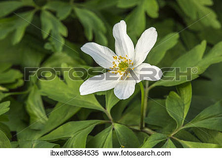 "Stock Image of ""Wood Anemone (Anemone nemorosa), Saxony."
