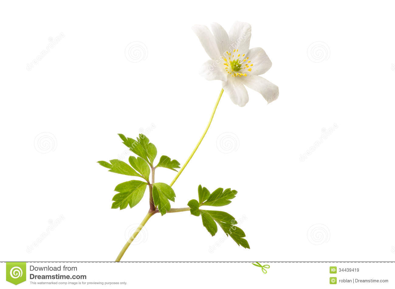 Blue Wood Anemone Stock Photo.