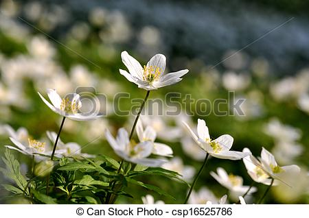 Pictures of Wood anemone.