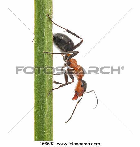 Stock Photo of Wood ant.