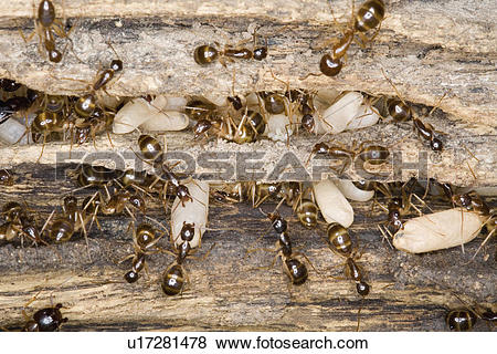 Pictures of eggs, brown, storing, carrying, ants, colony u17281478.