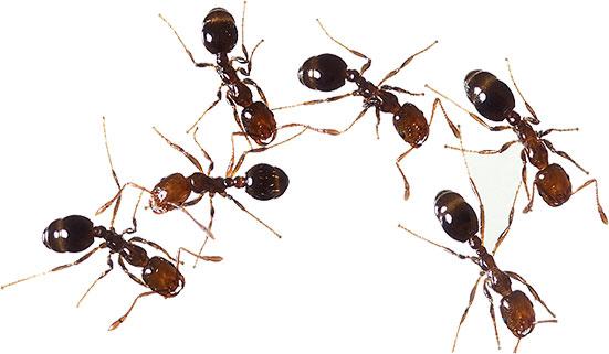 Animated Ants.