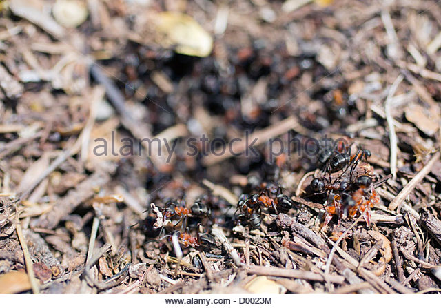 Ants Colony Stock Photos & Ants Colony Stock Images.