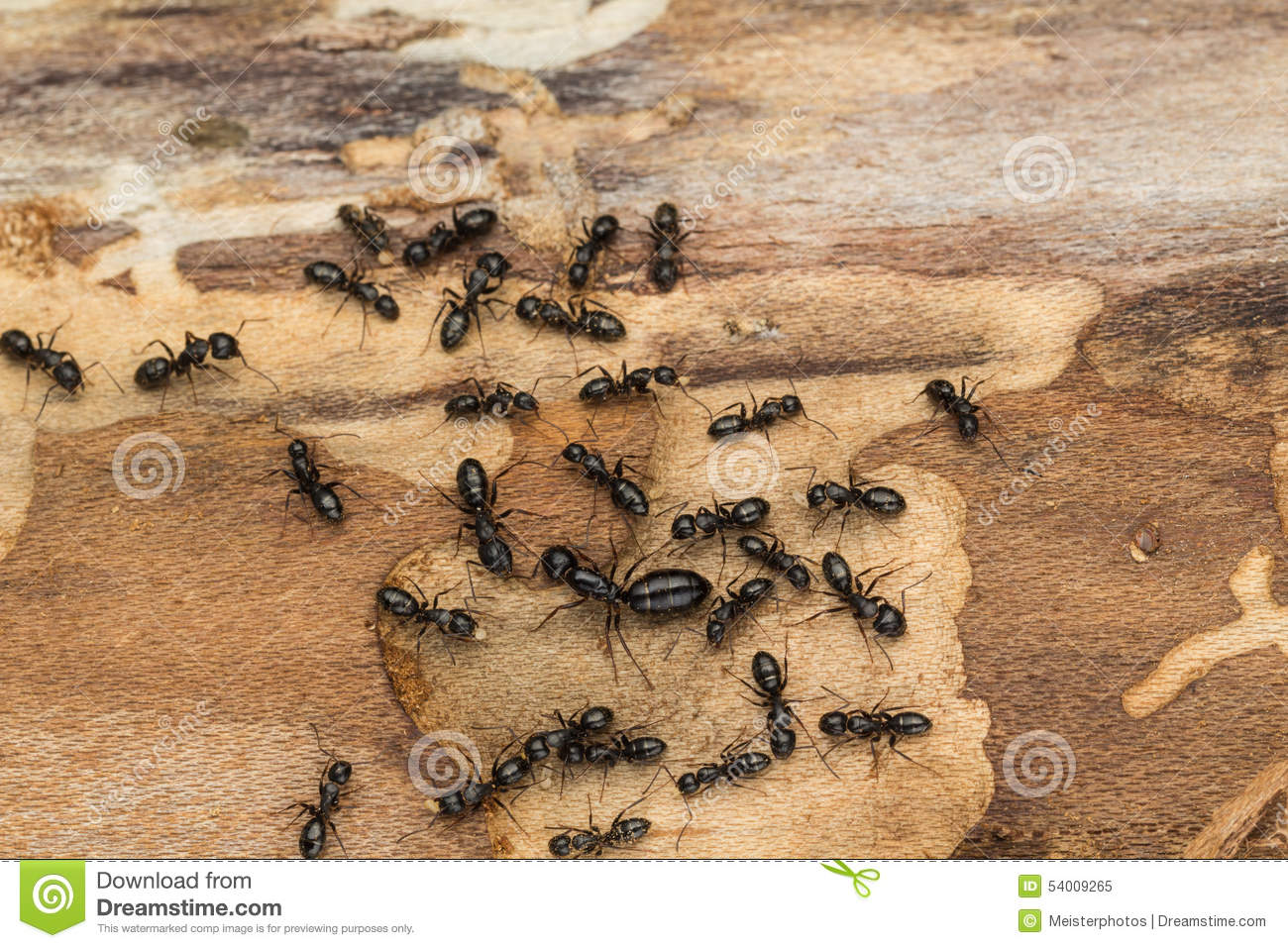 Black Ant Colony With Queen. Stock Photo.