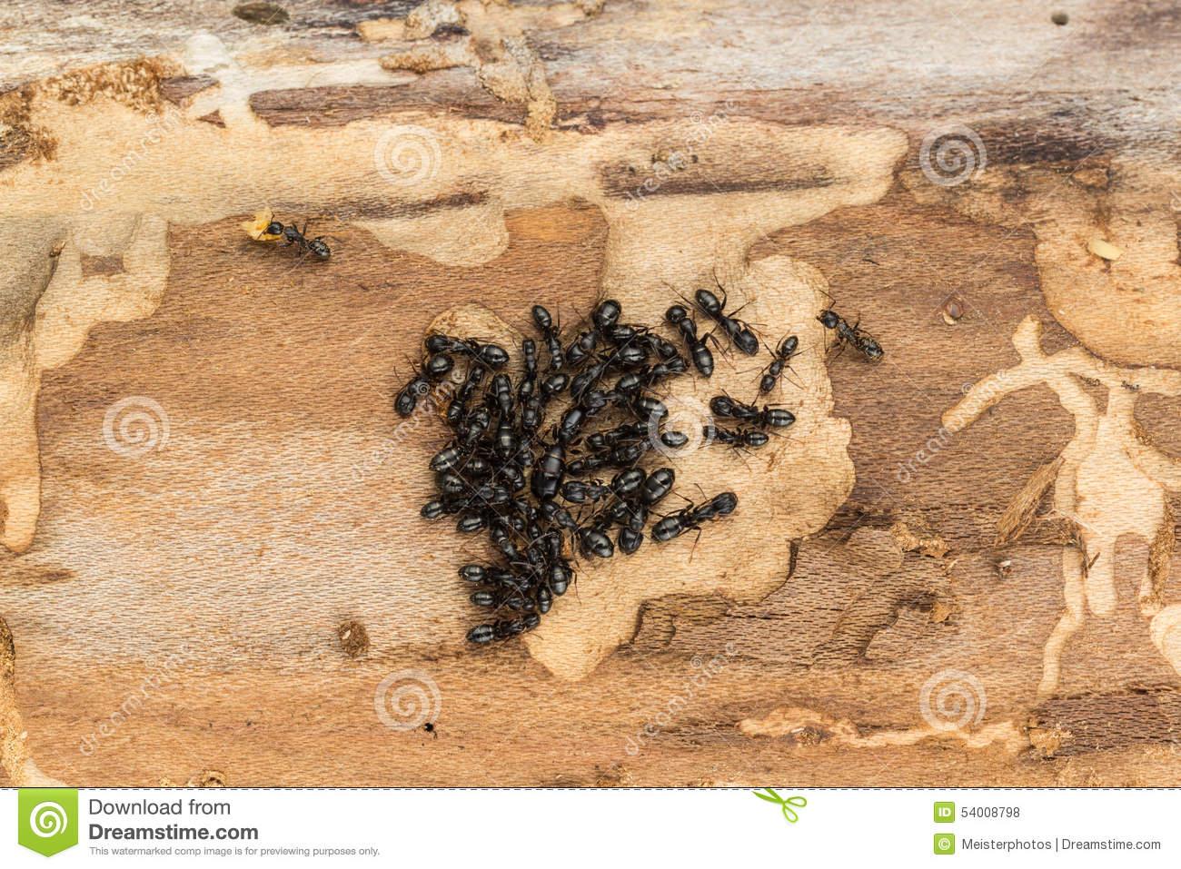 Carpenter Ant Colony Stock Photo.