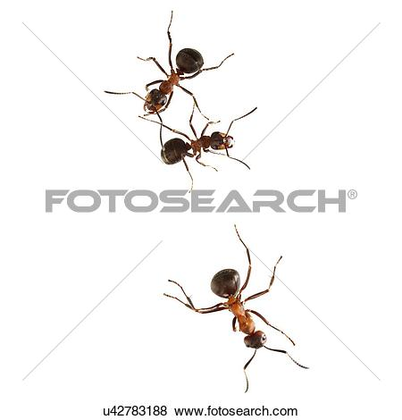 Pictures of Wood ants u42783188.