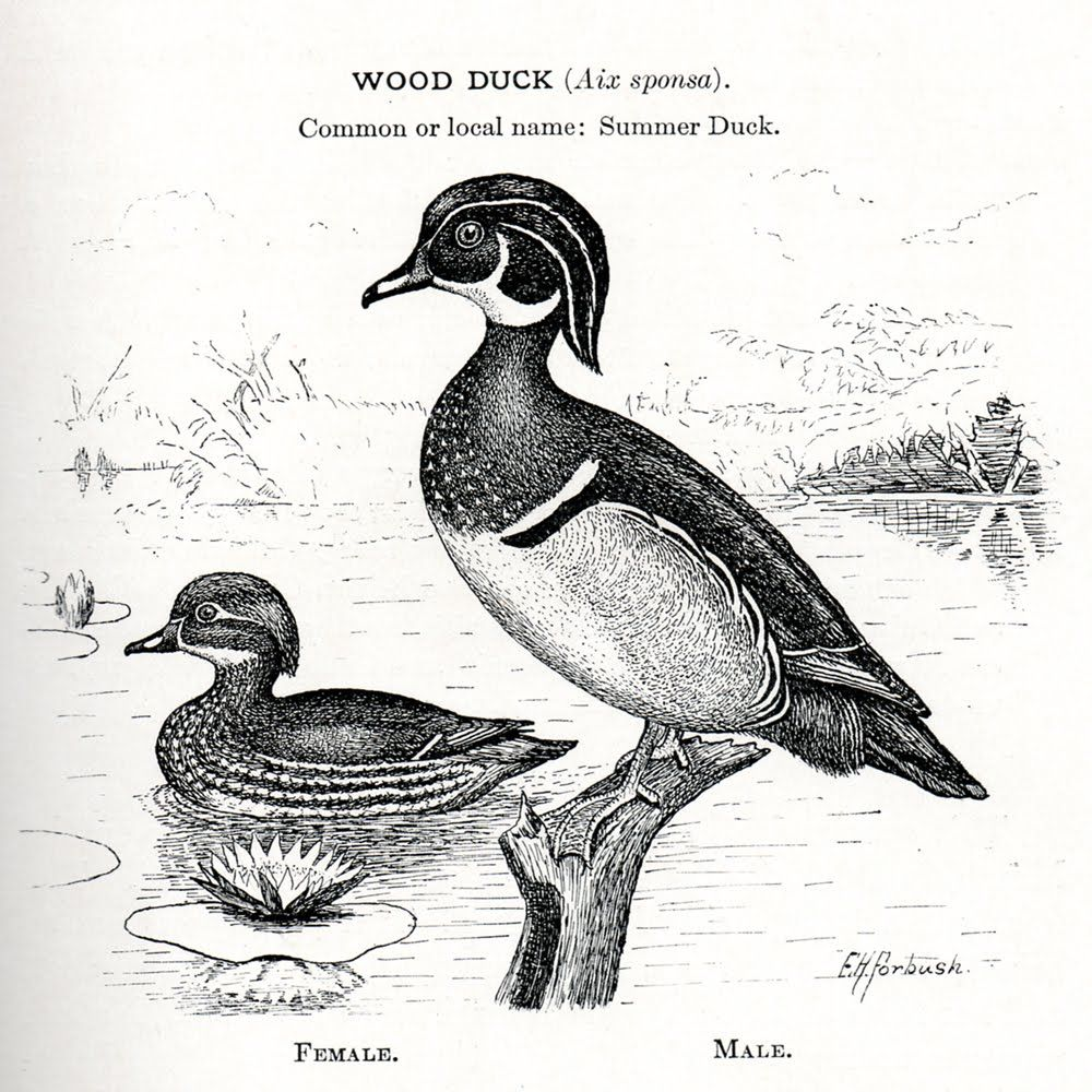 wood duck black and white drawing.