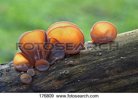 Stock Photograph of Wood Ear Fungus, Ear Fungus, Mu.