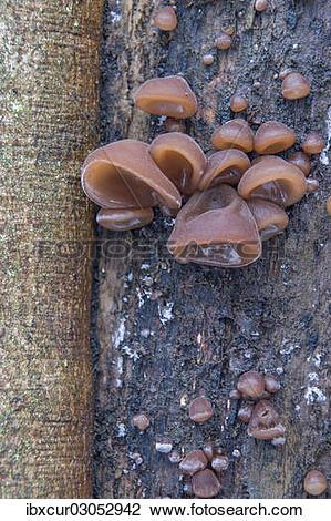 """Stock Photo of """"Jew's Ear or Wood Ear Fungus (Auricularia auricula."""