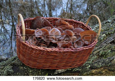 Stock Photography of Wood Ear Fungus, Ear Fungus, Mu.