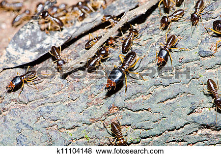 Pictures of Group of termite wood eater k11104148.