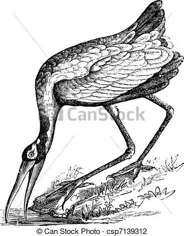 Vector Illustration of Wood Stork (Tantalus loculator) or Mycteria.
