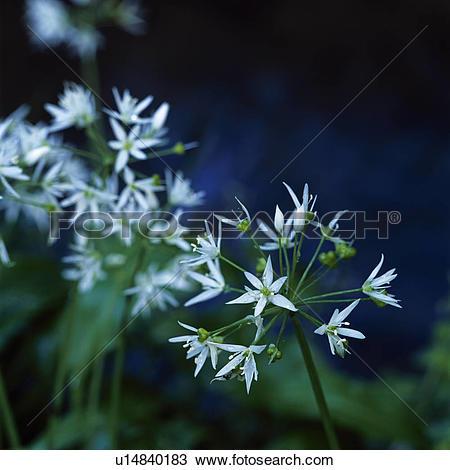 Stock Photo of England, Wiltshire, Ramsons (Allium ursinum) also.