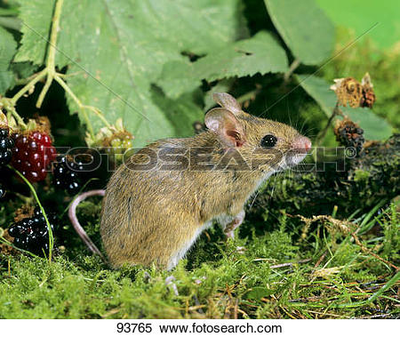 Stock Image of Wood Mouse / Apodemus sylvaticus 93765.