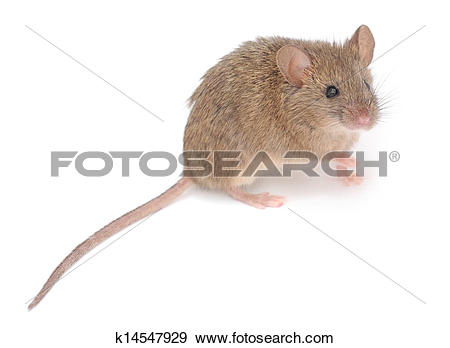 Stock Photograph of Wood mouse. k14547929.