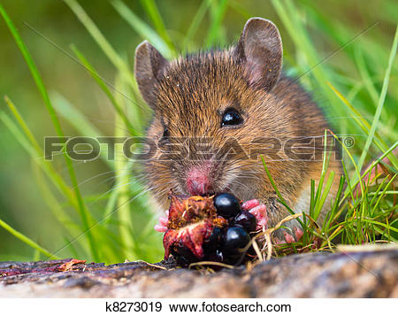 Stock Photograph of Wood mouse eating raspberry close up k8273019.