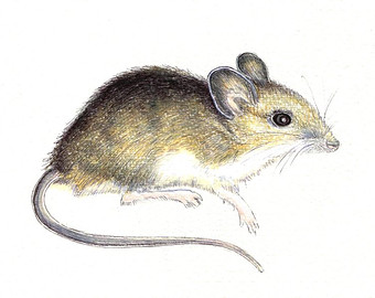 Wood mouse clipart #9