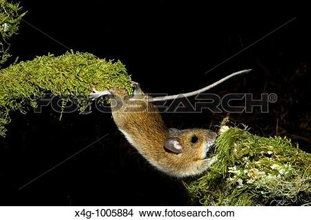 Stock Photo of Rat?n de campo estirBndose para superar un.
