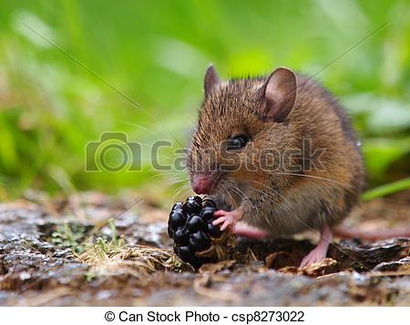 Stock Photo of Wood mouse eating raspberry csp8273022.