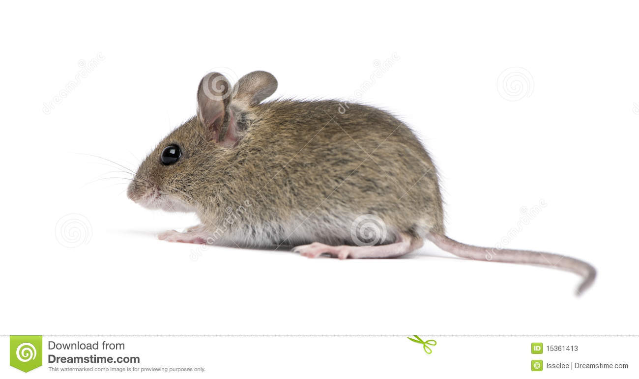 Side View Wood Mouse Stock Photos, Images, & Pictures.