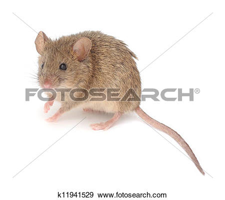 Stock Photograph of Wood mouse. k11941529.