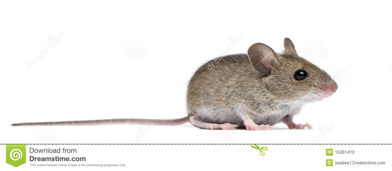 Side View Of Wood Mouse Stock Photo.