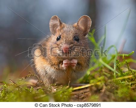 Stock Photography of Wild mouse sitting on hind legs.